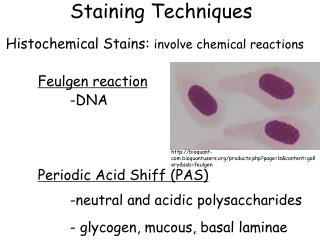 Staining Techniques Histochemical Stains:  involve chemical reactions Feulgen reaction     		-DNA