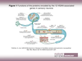 Figure 1 Functions of the proteins encoded by the 12 HSAN-associated genes in sensory neurons