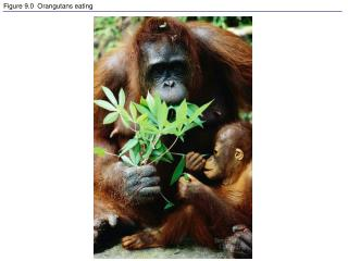 Figure 9.0  Orangutans eating