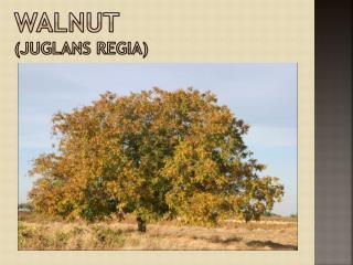 Walnut ( juglans regia )