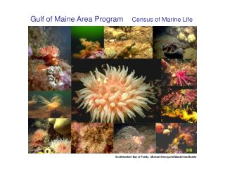Gulf of Maine Area Program      Census of Marine Life