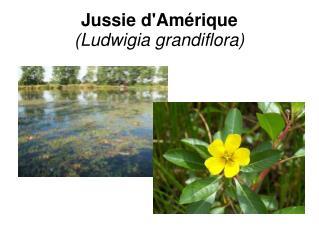 Jussie d'Amérique (Ludwigia grandiflora)