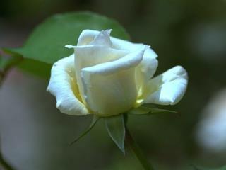 Een witte roos, als teken van ons ja-woord, leggen wij op het doopvont.