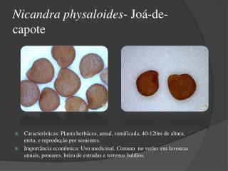Nicandra physaloides-  Joá-de-capote