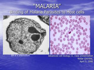 """MALARIA"" Binding of Malaria Parasites to Host cells"