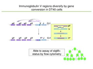 Immunoglobulin V regions diversify by gene  conversion in DT40 cells