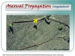 Asexual Propagation vegetative