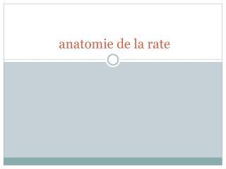 anatomie de la rate