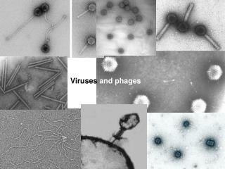 Viruses  and phages