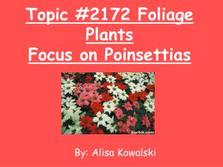 Topic #2172 Foliage Plants Focus on Poinsettias