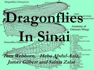 Dragonflies In Sinai