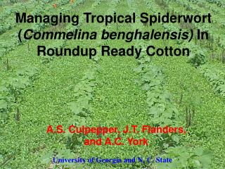 Managing Tropical Spiderwort ( Commelina benghalensis)  In Roundup Ready Cotton