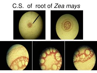 C.S.  of  root of  Zea mays