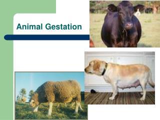 Animal Gestation
