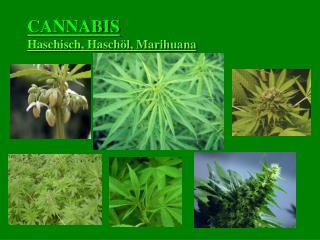 CANNABIS Haschisch, Haschöl, Marihuana