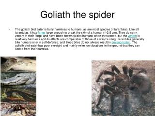Goliath the spider