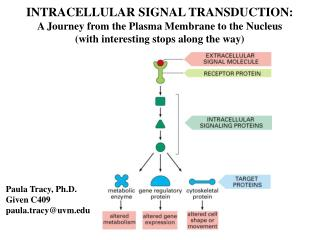 INTRACELLULAR SIGNAL TRANSDUCTION: A Journey from the Plasma Membrane to the Nucleus with interesting stops along the wa