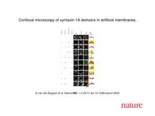 G van den Bogaart  et al .  Nature 000 ,  1 - 4  (2011) doi:10.1038/nature10545