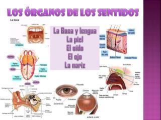 LOS ÓRGANOS DE LOS SENTIDOS