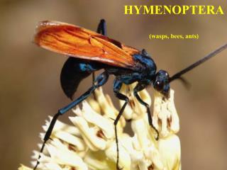 HYMENOPTERA (wasps, bees, ants)