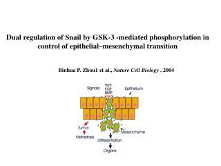 Binhua P. Zhou1 et al.,  Nature Cell Biology  , 2004�
