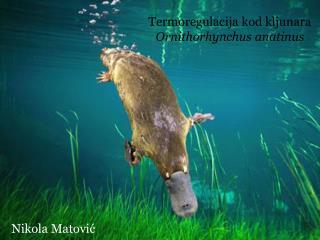Termoregulacija kod kljunara  Ornithorhynchus anatinus