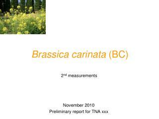 Brassica carinata  (BC)