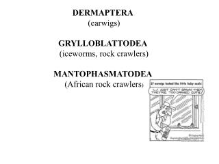 DERMAPTERA (earwigs) GRYLLOBLATTODEA (iceworms, rock crawlers) MANTOPHASMATODEA