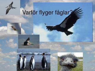 Varför flyger fåglar?