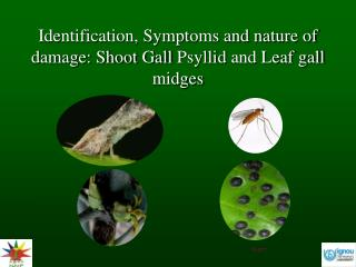 Identification, Symptoms and nature of damage: Shoot Gall  Psyllid  and Leaf gall midges