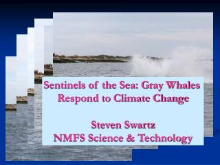 Sentinels of the Sea: Gray Whales  Respond to Climate Change Steven Swartz