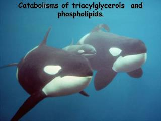 Catabolism s of triacylglycerols  and phospholipids .