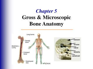 Chapter 5 Gross  Microscopic  Bone Anatomy