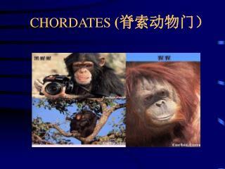 CHORDATES  ( 脊索动物门 )