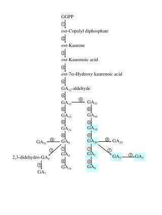 GGPP ent -Copalyl diphosphate ent -Kaurene ent -Kaurenoic acid ent -7 -Hydroxy kaurenoic acid