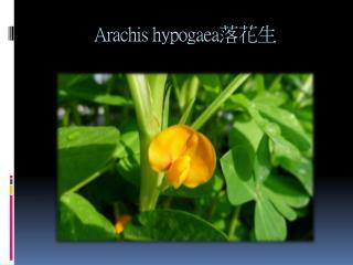 Arachis hypogaea 落花生