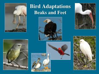 Bird Adaptations Beaks and Feet