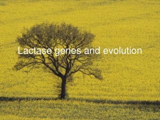 Lactase genes and evolution