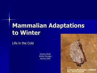 Mammalian Adaptations to Winter