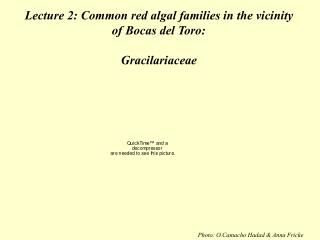 Lecture 2: Common red algal families in the vicinity of Bocas del Toro: Gracilariaceae