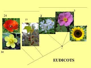 EUDICOTS