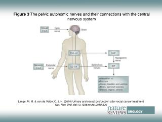 Figure 3  The pelvic autonomic nerves and their connections with the central nervous system