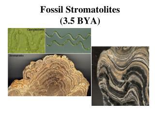 Fossil Stromatolites (3.5 BYA)