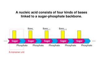 A nucleic acid consists of four kinds of bases linked to a sugar-phosphate backbone.