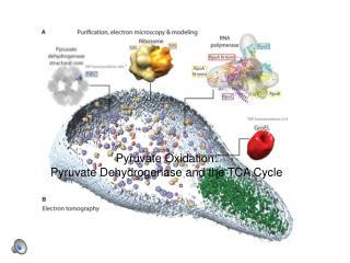 Pyruvate Oxidation: Pyruvate Dehydrogenase and the TCA Cycle
