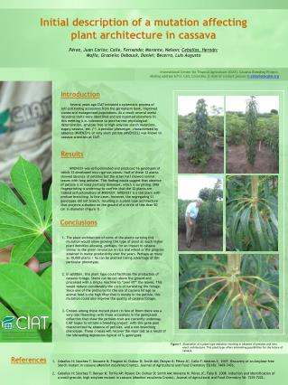 Initial description of a mutation affecting plant architecture in cassava