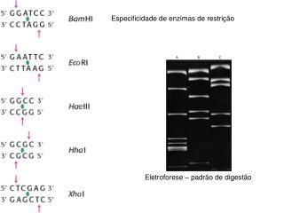 Especificidade de enzimas de restrição