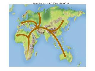 Homo erectus : 1,800,000—300,000 ya