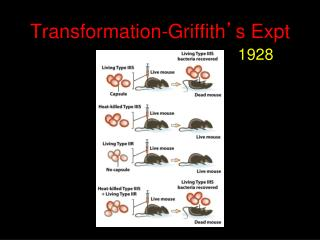 Transformation-Griffith ' s Expt