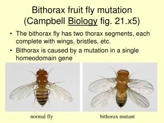 Bithorax fruit fly mutation (Campbell  Biology  fig. 21.x5)